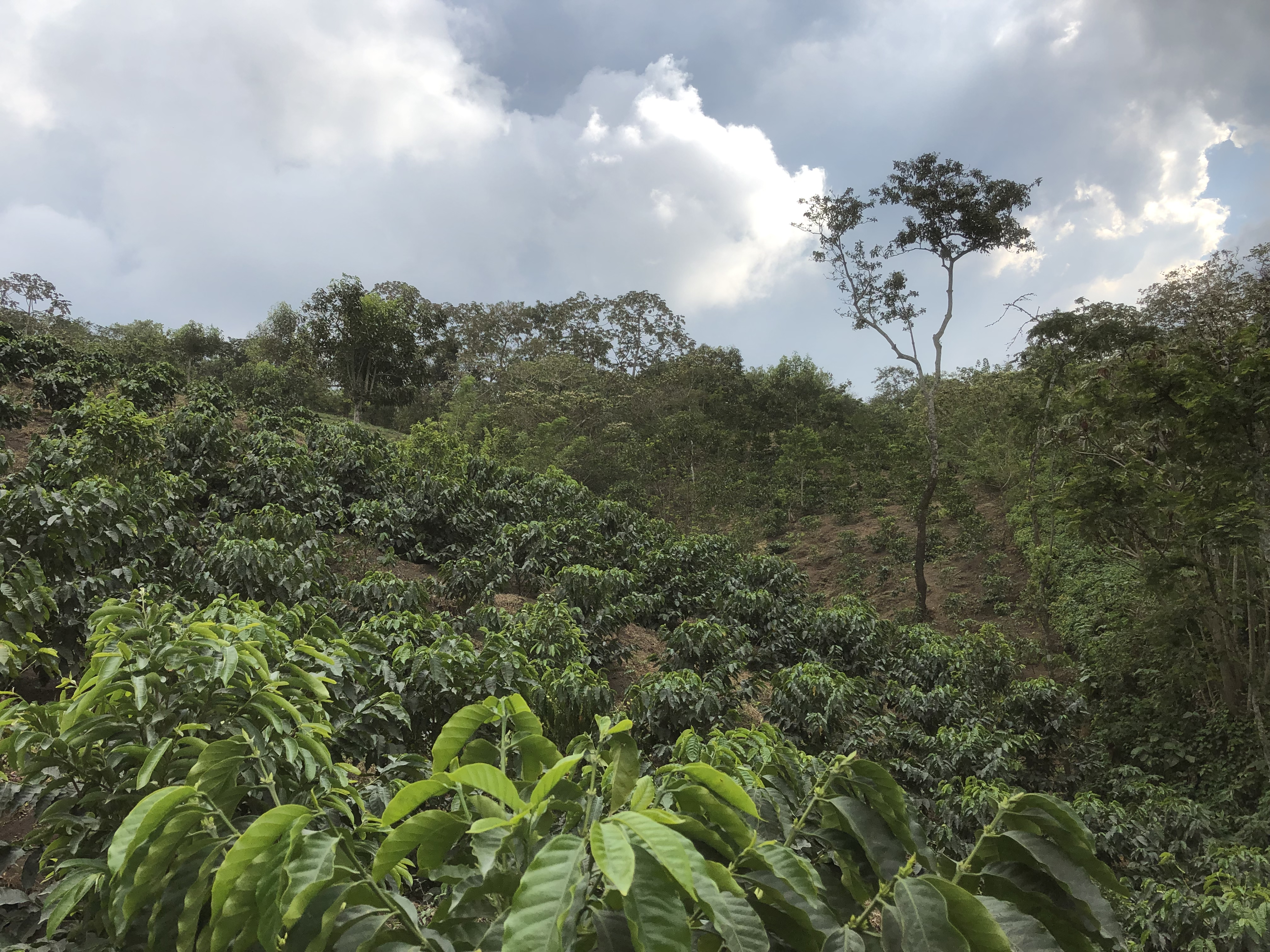 Soils in coffee-dominated landscapes (Guatemala)